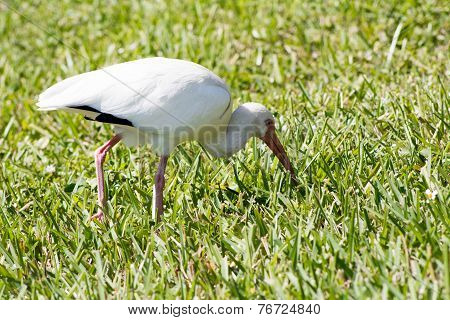White Ibis In The Grass
