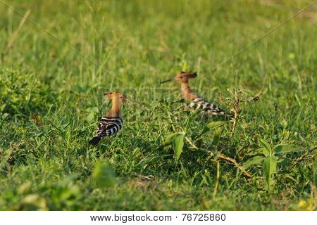 Couple Of Hoopoes On The Land