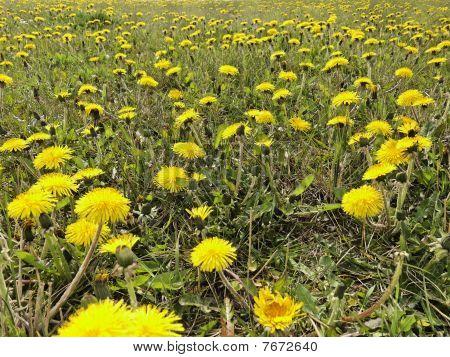 Mystic Dandelion Field