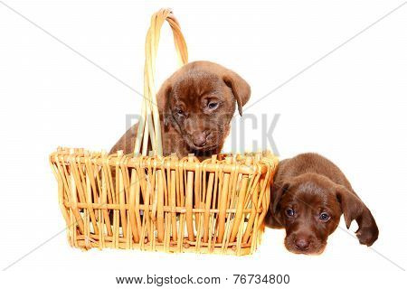 Brown Pups