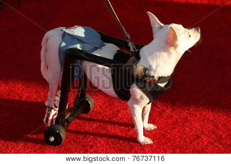 LOS ANGELES - NOV 22:  handicapped dog on wheels at the FOX's