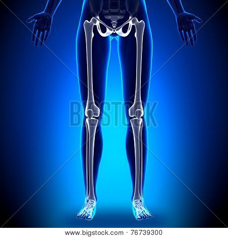 Female Legs - Anatomy Bones