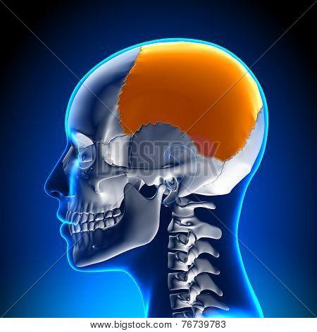 Female Parietal Bone - Skull / Cranium Anatomy