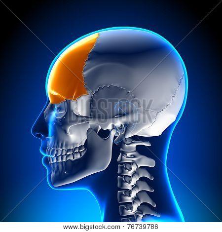 Female Frontal Bone - Skull / Cranium Anatomy