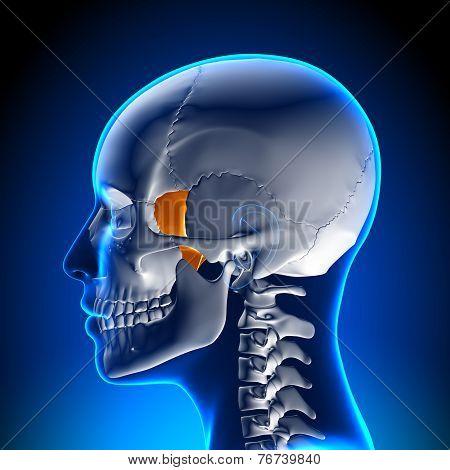Sphenoid Bone - Skull / Cranium Anatomy