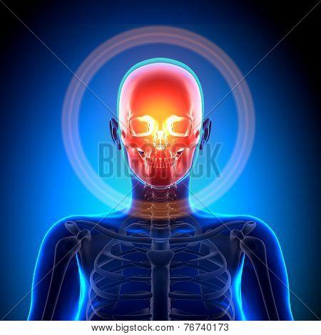 Female Skull / Cranium - Anatomy Bones