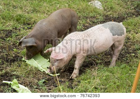Spanish Iberian pig breeding
