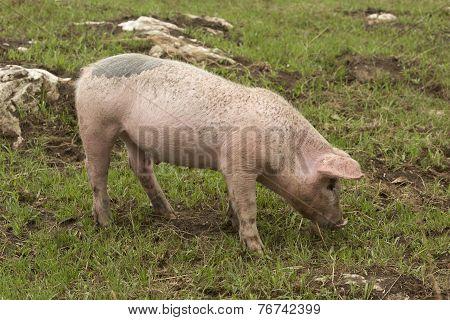 Spanish Iberian Pig Breeding