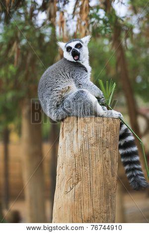 Lemur Looking Around