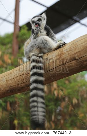 Lemur Looking Around