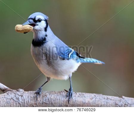 Jay with a Peanut Treat