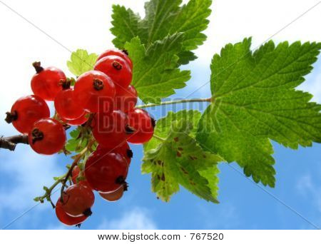 Redcurrants 2