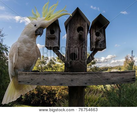 Sulfur Crested Cockatoo on Bird Feeder