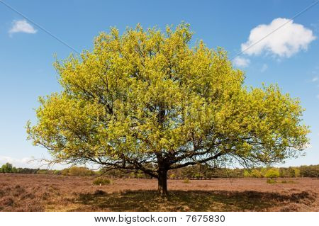 Beech Tree In Landscape