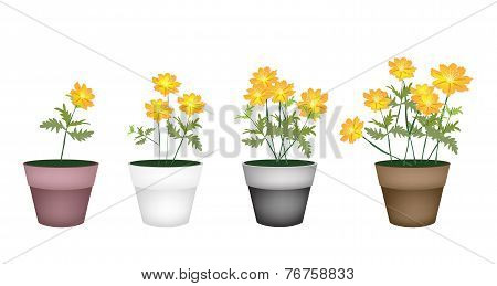 Set of Cosmos Flowers in Flower Pot
