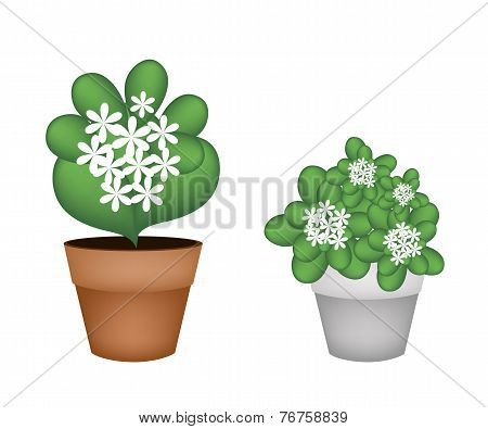Two White Jasmine Flowers in Flower Pot