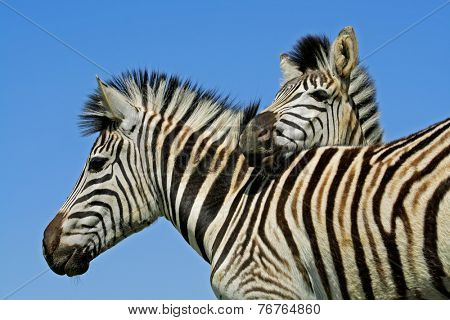 Portrait of two plains (Burchells) zebras (Equus burchelli), Mokala National Park, South Africa