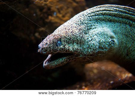 Moray Eel With Its Mouth Open