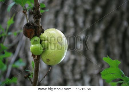 Oak Balls On A Branch