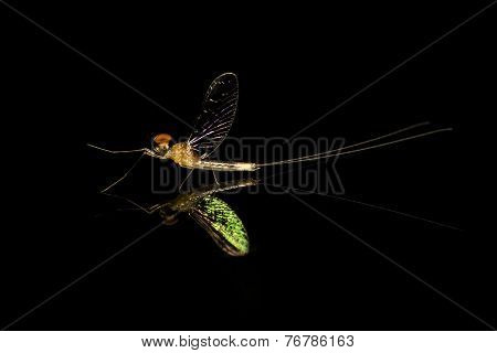 Mayfly On A Mirror, reflection
