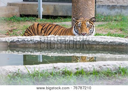 Young Bengal Tiger Is Hiding At The Pond