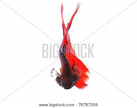 Close Up Of Beautiful Red Tail Thai Siamese Fighting Fish Betta Isolated White Background