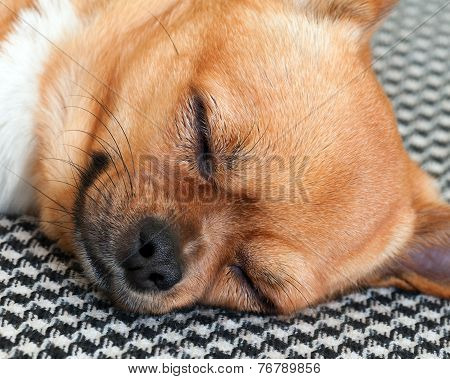 Sleeping Red Chihuahua Dog On Shemagh Pattern Background.
