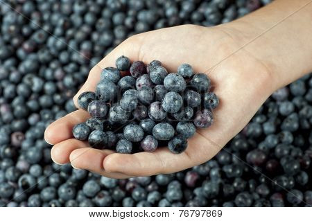 One Hand Full Of Fresh Blueberries