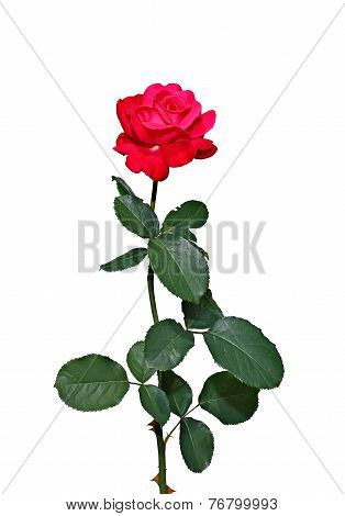 Scarlet Rose Flower Isolated