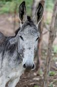 stock photo of headstrong  - grey donkey closeup detail from a nicaraguan farm - JPG