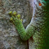 image of gekko  - Close up shot of the gecko on tree - JPG