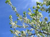 stock photo of apple tree  - branch of blossoming tree on blue sky background - JPG