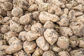 stock photo of sugar industry  - Closeup of a heap of recently harvested sugar beets on a sunny day in the fall season - JPG
