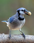 picture of blue jay  - A blue jay perching on a branch with a peanut in it