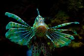 image of mile  - Common  Lionfish or Devil firefish  - JPG