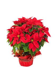 pic of poinsettia  - Red poinsettia  - JPG