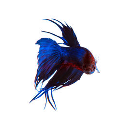 picture of fighter-fish  - beautiful blue crown tail siamese thai betta fighting fish isolated white background - JPG