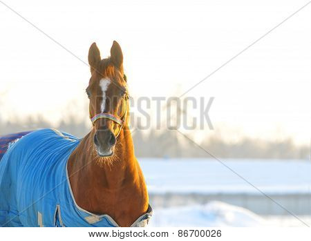 Horse In Blanket Winter Portrait