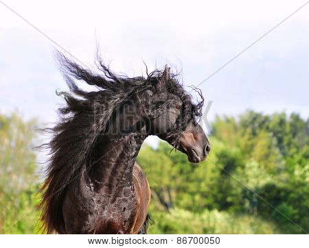 Friesian Horse Portrait With Long Mane