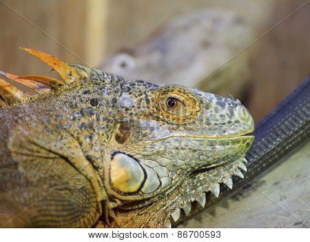 Green Iguana (iguana Iguana) Portrait