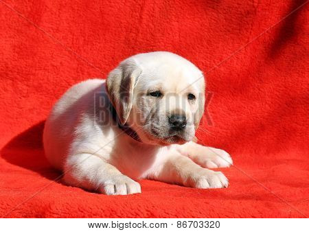 A Nice Yellow Labrador Puppy Laying On Red Background