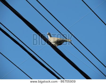 Collared dove on the wires
