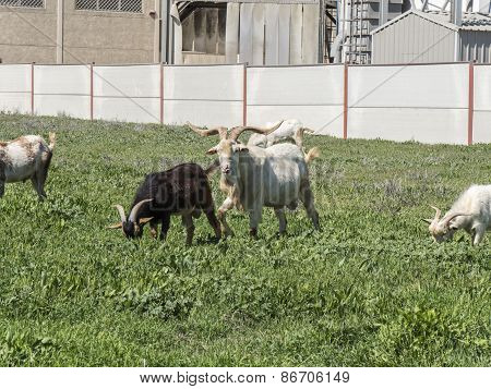 Goats Grazing In A Meadow