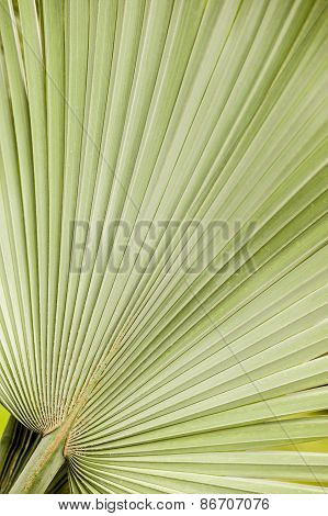 Detail Of A Palm Leaf