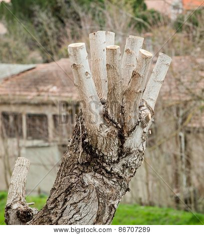Close Up Of Pruned Tree