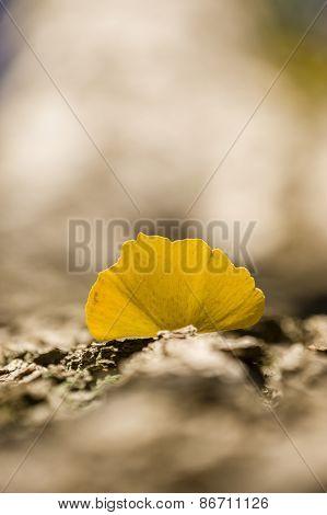 Detail Of Autumnal Gingko Tree Leaf
