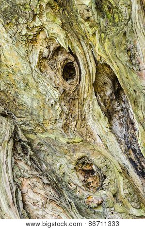 Detail Of Old Cypress Tree Trunk