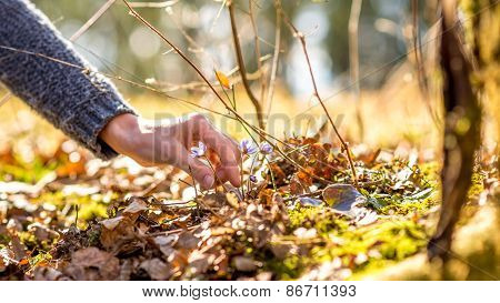 Female Hand About To Pick An Early Purple Spring Flower