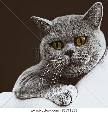 Short-haired British Gray Cat