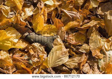 Fallen Autumnal Yellow Leaves On Ground